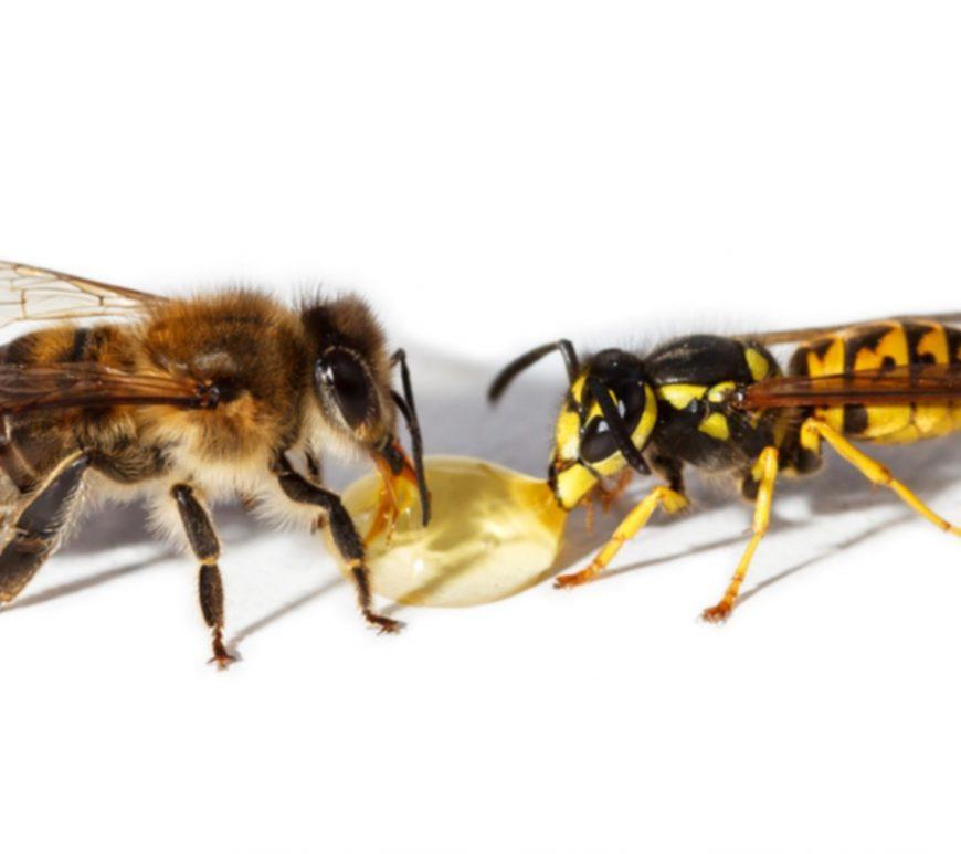 Im Gegensatz zu Wespen können Bienen nur einmal zustechen.